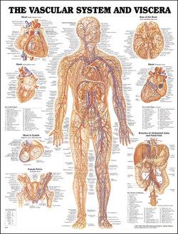 Vascular System and Viscera Anatomical Chart