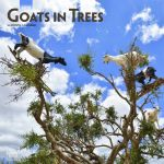 Goats in Trees 2019 Square Wall Calendar