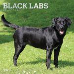 Black Labrador Retrievers 2019 Square Wall Calendar