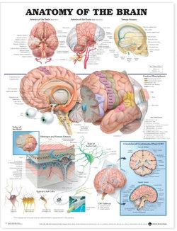 Anatomy of the Brain Anatomical Chart