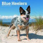Blue Heelers 2019 Square Wall Calendar