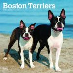 Boston Terriers 2019 Square Wall Calendar