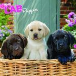Labrador Retriever Puppies 2019 Square Wall Calendar