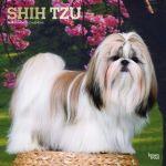 Shih Tzu 2019 Square Wall Calendar