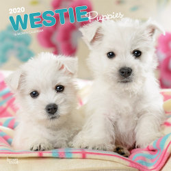 West Highland White Terrier Puppies 2020 Square Wall Calendar